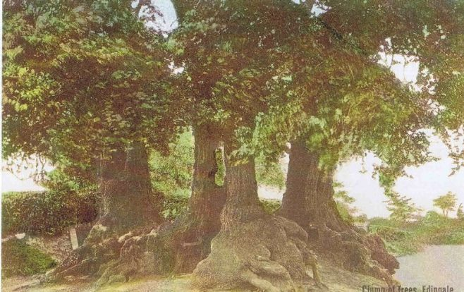 Possibly the large trees many years later